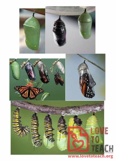 Life Cycle of a Butterfly Unit Pictures