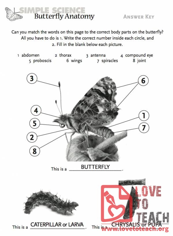 Butterfly Anatomy | LoveToTeach.org